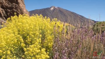 Весна на Тейде, цветущий Тахинасте