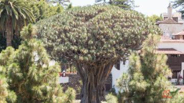 Тысячелетнее Драконово Дерево в Ик