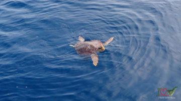 Черепахи на Тенерифе, морская прог