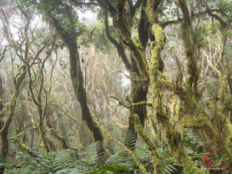 Сказочный лес Лаурисильва