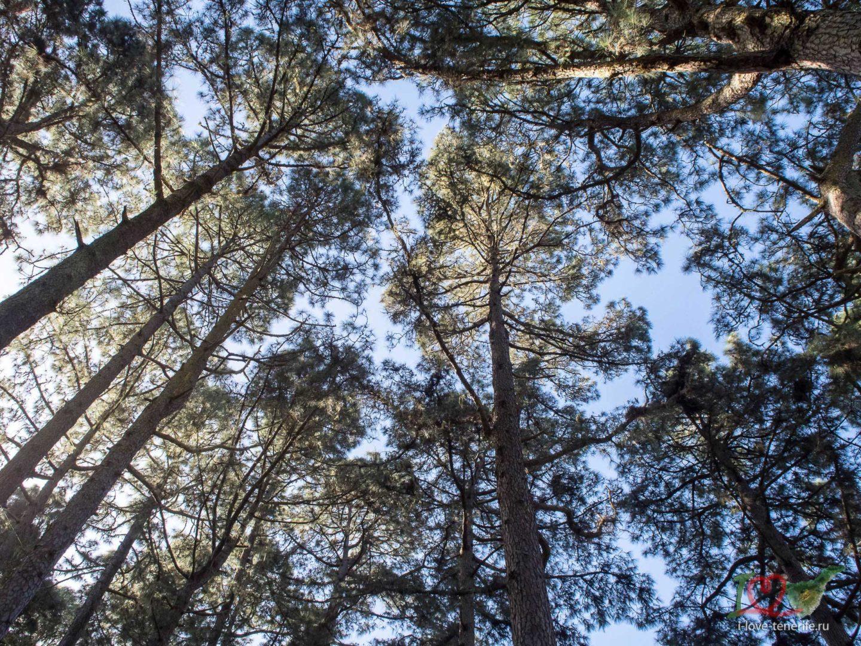 Сосовые леса Тенерифе